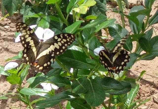 Schmetterlinge in Metarica. (Foto: Lehmeier/SMMP)